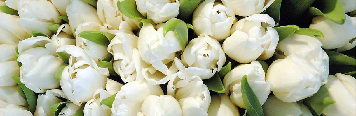 Des tulipes contre le cancer chaque tulipe un pas contre - Planter des tulipes en mars ...