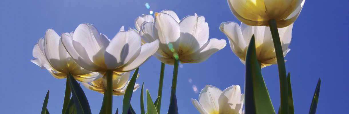 A chaque tulipe, un pas contre le cancer